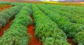 """زراعة """"الشيبة"""" بالمغرب ما بين البعد الاقتصادي والاجتماعي وتنمية العالم القروي"""