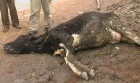 نفوق سبعين رأسا من البقر يستنفر السلطات