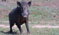 الخنزير البري يجتاح دواوير بويفار ويلحق أضرارا بالمحاصيل الزراعية