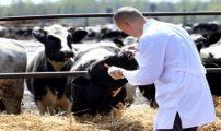 """إلى حدود 28 فبراير 2019….""""أونسا"""" تتمكن من تلقيح أكثر من 2,5 مليون رأس من البقر…"""