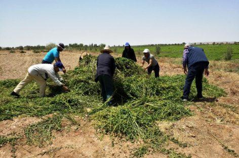 """إتلاف حقول النعناع التي يستعمل أصحابها مبيدات غير مرخصة و""""أونسا"""" يهدد المخالفين باللجوء للقضاء"""