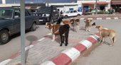 ساكنة بلدة بني شيكر ضواحي الناظور تحت رحمة الكلاب الضالة والمسعورة في انتظار الوباء