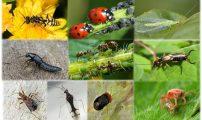 الحشرات النافعة التي تقضي على حشرة المن